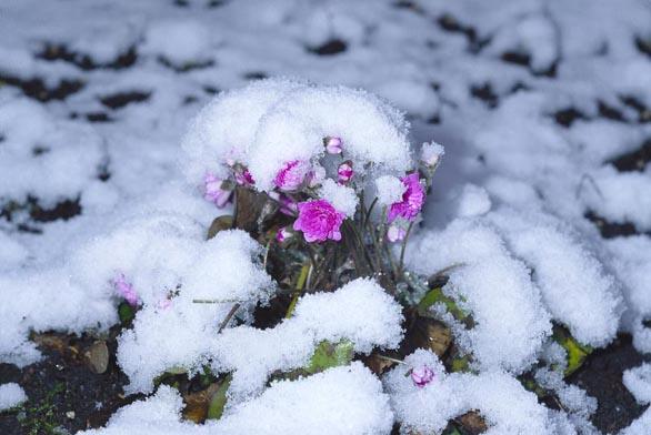 Hepatica nobili ´Rosea Plena´ je sotva vidět pod jarním přívalem sněhu.