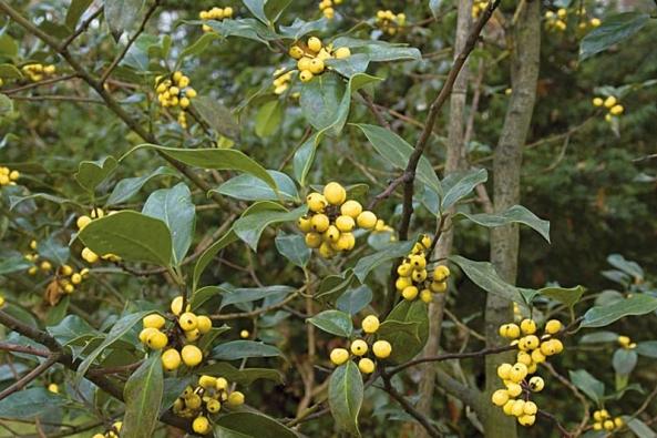 Nejen rudé plody může mít cesmína (Ilex aquifolium bacciflava).