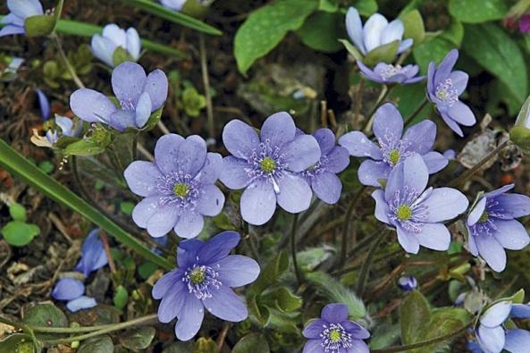 Jaterník (Hepatica nobilis) je pro mnohé oblíbenou jarní kytičkou.