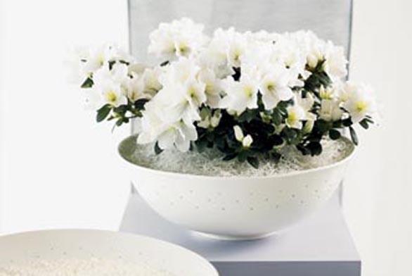 Azalka patří mezi poměrně náročné rostliny.