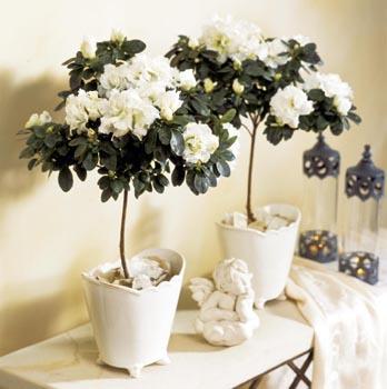 Některé květy jsou i dvojbarevné, jiné mohou mít zvlněné okraje.