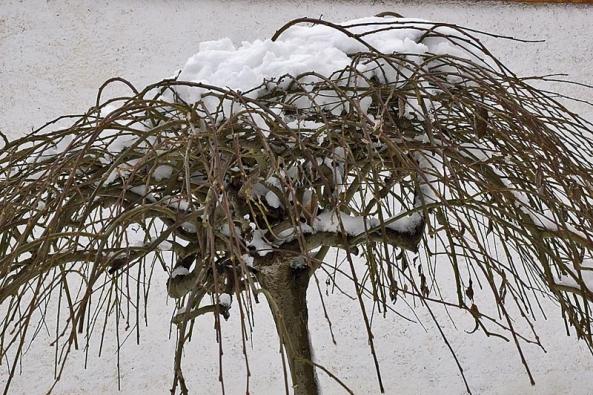 """Před štítovou zdí zdobí již letitou vrbu jívu """"převislou"""" sněhová čupřina."""