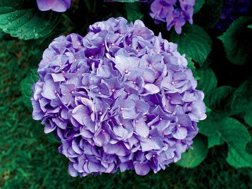 Hortenzie velkolisté jsou velmi cenné dřeviny, které kvetou v létě. Jijich nectností je především, to, že u nás často namrzají a pak nekvetou. Výjimku tvoří kultivar Bouquet Rose, který nasadí květy i na jednoletých (letošních) výhoncích(!). Pro modrou barvu je nutná extrémně kyselá půda (čistá rašelina), Výborně snáší stín. Výška 0,8-1 m, kvete od června do září.