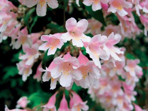 Kolkvitzie je krásný keř, který dobře snáší i přistínění. Je velmi nenáročný na půdu - při přehnojení málo kvete (!). V době květu patří mezi nejefektnější dřeviny. Velikost 150 až 200 cm, kvete v květnu a v červnu.