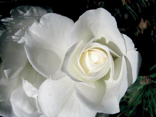Růže Schneewittchen (ADR 1960) je sněhobílá keřovka. Je sice již staršího data (1958), ale jak říká její šlechtitel pan Kordes: Klidně bychom ji stáhli ze sortimentu, ale zatím nikdo na světě nevyšlechtil lepší bílou floribundu. Výška 100 až 120 cm, kvete od června do zámrazu.