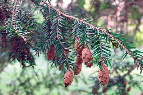 Jedlovec (Tsuga canadensis) je zajímavý jehličnatý strom podobný jedli. Pochází ze Severní Ameriky, kde roste v přistíněných a vlhkých údolích. Má rád vlhké a kyselé půdy. Velikost 8 m.