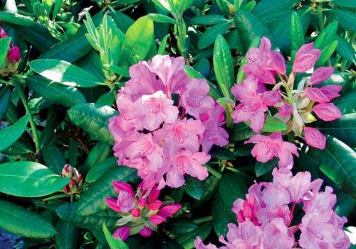 Pěnišník (Rhododendron Blue Peter) je stálezelená dřevina, která je velmi vhodná i jako podrost pod větší dřeviny, protože zvládá i trvalý stín. Vyžaduje velmi lehký a kyselý substrát (čistá rašelina) a stále přiměřeně vlhkou půdu. Velikost 1,5 m, kvete v květnu a v červnu.