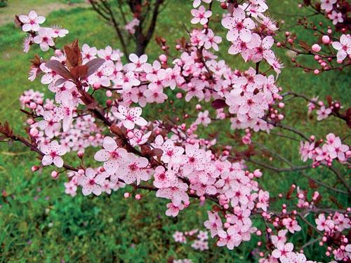 Okrasné slivoně jsou cenné především tím, že se jedná o menší stromky nebo větší keře, které na jaře bohatě kvetou. Vedle zelených forem existují i odrůdy s tmavě červeným listem. Má ráda spíše těžší půdy dobře zásobené živinami. Velikost 5 až 7 m, kvete v dubnu.