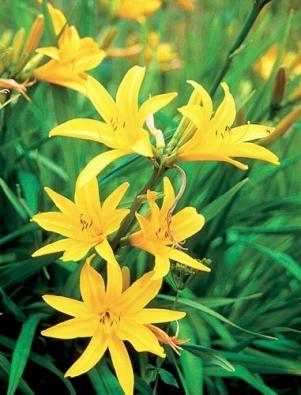 Denivky jsou trvalky s dužnatými kořeny, pěstované pro mimořádně efektní květy podobné liliím. Jsou nenáročné, velmi vytrvalé a vydrží mnoho let na jednom stanovišti. Velikost 50 až 80 cm, kvete od června do srpna.