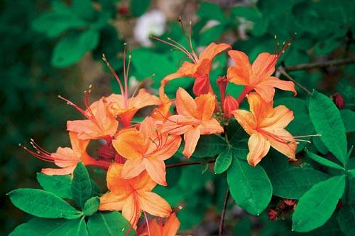 Azalky jsou opadavé dřeviny příbuzné se stálezelenými pěnišníky (Rhododendron). Dobře snáší polostín, vyžadují kyselou a vlhkou půdu. Kultivar Klondyke je moderní a bohatě kvetoucí, výška 100 až 150 cm, kvete v květnu a v červnu.
