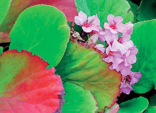 Bergénie je tradiční trvalka stinných zákoutí. Díky novým odrůdám je stále výborná jako podrost stromů a větších keřů. Mezi její přednosti patří stálezelené listy, které zdobí rostlinu i v zimě. Na jaře se ozdobí bohatými vijany růžových květů. výška 30 až 40 cm, kvete v březnu a dubnu.