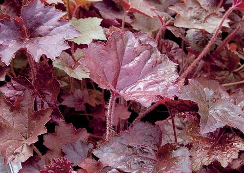 Dlužicha je nepostradatelnou trvalkou všude tam, kde potřebujete vyplnit prázdná místa na méně osluněném záhonu. Zvláště cenné jsou odrůdy v hnědočervených odstínech listů, jakou je i Heuchera americana Palace Purple. Výška 30 až 40 cm, kvete v červenci a v srpnu.