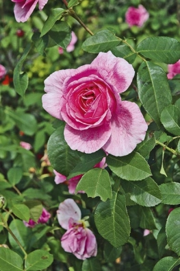 Popínavá růže je favoritkou mezi šplhavými rostlinami.
