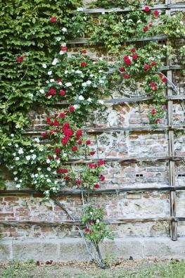 Popínavé růže potřebují opěrnou konstrukci a musí se vyvazovat.