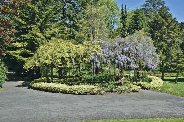 Vistárie čínská (Wisteria chinensis) patří k nejkrásnějším popínavým rostlinám, ale pozor, je celá jedovatá.