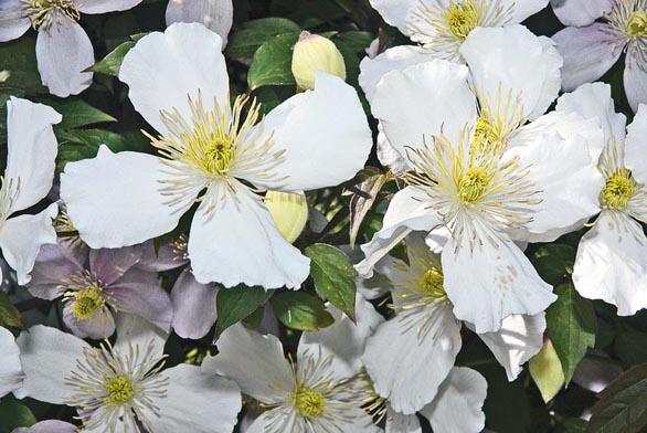 Clematis montana ´Alexander´ – detail květů.