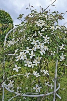 Plamének (Clematis montana ´Alexander´) patří mezi velkokvěté a dobře rostoucí odrůdy.