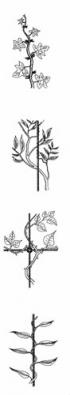 Typy popínavých rostlin