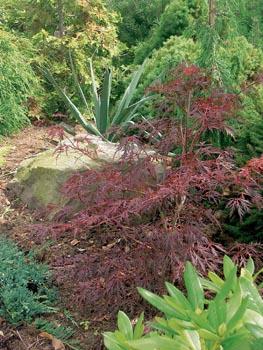 Červený javor a juka vnášejí do zahrady tvarový i barevný kontrast.