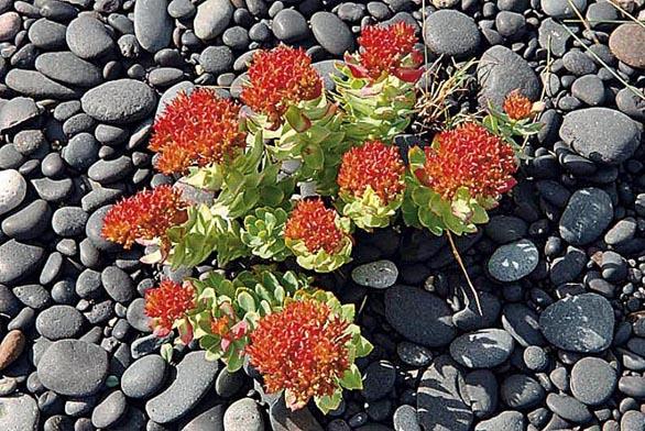 Sedum integrifolium vyžaduje humózní vlhké stanoviště, v létě je potřeba ho přistínit.