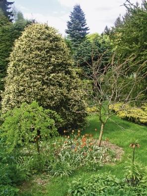 Střihaný smrk východní ´Aurea´(Picea orientalis), jedli Abies concolor a čimišník stromovitý ´Pendula´(Caragana arborescens) osvěžují tulipány (Tulipa orphanidea).