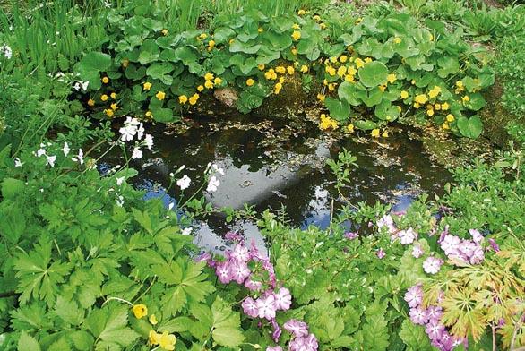 Okolí jezírka zdobí trvalky - japonská skalnička Hylomecon japonica nebo prvosenka Sieboldova (Primula sieboldii).