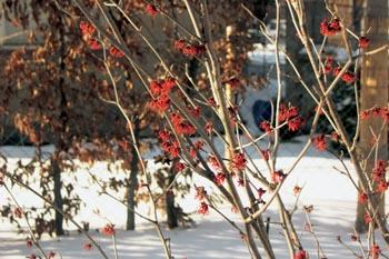 Zářivý vilín Hammamelis x intermedia Diane.