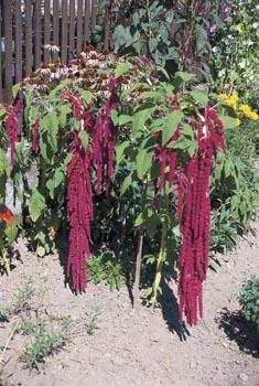 Každý koutek v zahradě je využit. Tady se o efekt stará laskavec (Amaranthus).