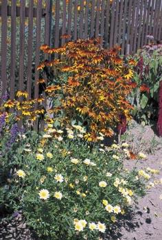 Chrysanthemum, vzadu Heliopsis, typické staré květiny venkovských zahrádek.