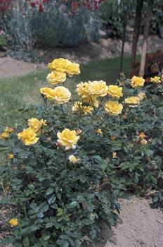 Paní Ciznerová se je všechny s láskou naučila dobře pěstovat, ošetřovat, množit i přezimovat, takže mnohdy má problém, kam všechny květiny vysadit, aby na zahradě nevznikl chaos.