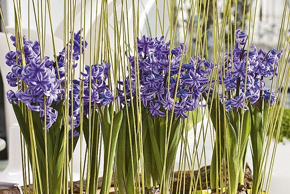 Čas tulipánů, narcisů a hyacintů