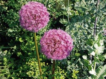 Okrasným cibulovinám písčité půdy svědčí. Krásný česnek (Allium sphaerocephalon) sázejte do skupin v kombinaci se stříbřitě olistěnými trvalkami (například pelyněk - Artemisia).