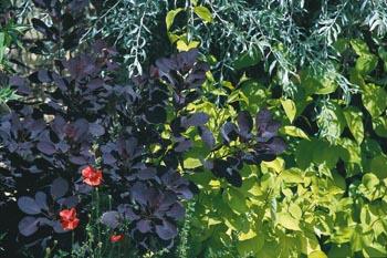 Na písčitých půdách se daří i řadě nenáročných dřevin: načervenalá ruj vlasatá (Cotinus coggygria), světlezelená svída bílá (Cornus alba Aurea) a drobnolistá hlošina (Eleagnus angustifolia).