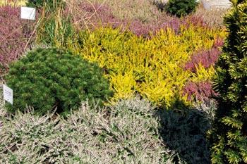 Vřesoviště s pestrou směsí odrůd vřesu (Calluna vulgaris) je pro oblasti s písčitou půdou skvělou volbou: žlutý vřes Boskoop, bílý vřes Sandy, zakrslá borovice Pinus silvestris Globasa Vividis, vzadu červený vřes Red Star a vpravo vřes Aphrodite.
