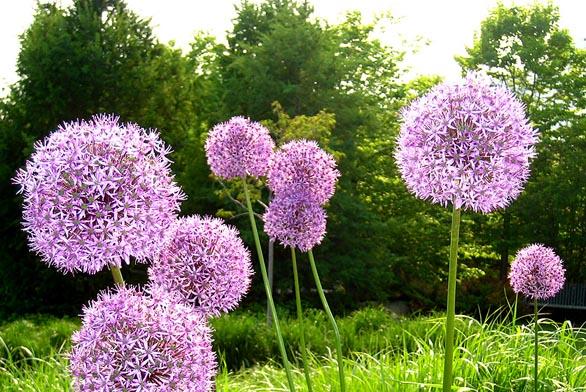 Allium sphaerocephalon (zdroj: explow.com)