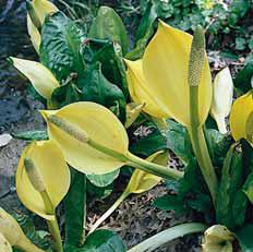 Toulcovka neboli kapsovec americký (Lysichiton americanus) roste do výšky 1 m a šířky až 1,2 m. Kvete na jaře. Pro své rozměry a páchnoucí květy je vhodnější do velkých zahrad. Příbuzná toulcovka kamčatská (výška i šířka do 75 cm) kvete od IV. do V. bílými toulci se zelenou špičkou. Oba druhy jsou mrazuvzdorné a vyžadují kolísavou výšku vody 0–3 cm.