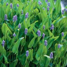 Modráska srdčitá (Pontederia cordata) je krásnou společnicí pro sličné árony. Pochází z Ameriky, v jižní Evropě zplaněla. U nás ji pěstujte v nádobě, kterou na zimu zanoříte do bahna jezírka ve větší hloubce. Dosahuje výšky 30–50 cm. Kvete od června do srpna. Výška vodního sloupce nad kořeny 5–30 cm.