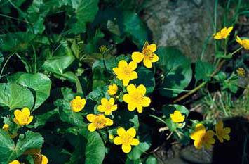 Blatouch bahenní (Caltha palustris) je jedovatý domácí druh, který spolehlivě splní sanitární funkci v bahnitých lemech jezírka. Prošlechtěn do několika odrůd lišících se barvou a plností květu. Výška vodního sloupce 0–15 cm.