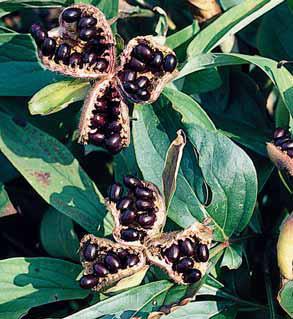 Řada druhů a odrůd pivoněk má ozdobné plody – měchýřky. U mladých nebo zesláblých rostlin květy po odkvětu ostřihejte, aby neoslabovaly rostlinu. V Evropě bývala semenům přičítána magická moc. Ve středověké Francii oblíbený růženec sv. Gertrudy byl ochranou před zlými bytostmi. Novou jehlou se na červenou nit navlékla pivoňková semena a náhrdelník se pokropil svěcenou vodou.