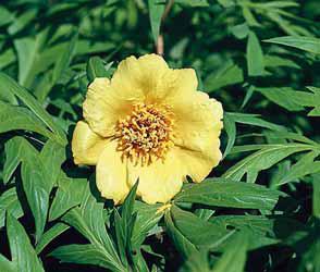 Pivoňka žlutá (Paeonia lutea) má podobu nízkého, opadavého keře s výškou okolo 1,5 m. Prošlechtěna do několika odrůd. Podobná žlutá pivoňka Mlokosewitschova je bylinou! Vyžaduje propustnou výživnou půdu a slunce nebo světlý polostín. Kvete v červnu.