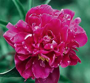 Pivoňka bělokvětá neboli velkokvětá či také čínská (Paeonia lactiflora, syn. albiflora nebo sinensis) se do Evropy dostala až v 19. století. Vyšlechtěno mnoho odrůd lišících se barvou květu ve škále bílá, růžová, karmínová a plností květu. Dříve byla rozdělena do dvou skupin čínské a japonské pivoňky s jednoduchými, neplnými květy a sterilními prašníky. Nesnáší těžké, uléhavé půdy. Prospívá na výsluní a ve výživné propustné půdě. Výška 50–110 cm. Kvete v květnu až v červnu.