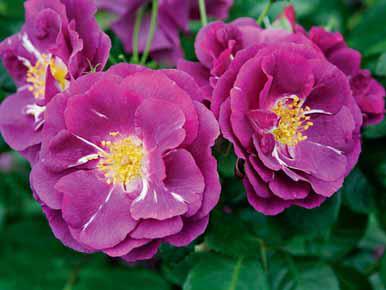 """Rhapsody in Blue patří do skupiny """"modrých"""" růží. Dorůstá do výšky až 120 cm, opakovaně kvete, voní a je zdravá."""