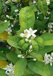 Přílišný růst omezuje kvetení a tím plodnost citrusů. Citrusy kvetou obvykle na koncích větviček, které řezem zkracujeme. Pokud rostliny nekvetou, některé větvičky se neřežou a vyvazují se vodorovně nebo v opačném sklonu. To podporuje kvetení.
