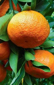Citrusy rostou obvykle 2 až 3krát do roka podle podmínek (březen až duben – červen až červenec – září až říjen a ojediněle prosinec až leden). Čtvrtá růstová perioda se vyskytuje pouze výjimečně u bujně rostoucích jedinců při teplém zimování, zpravidla u citroníků. Naopak japonské mandarinky mají při chladném zimování obvykle jen dvě růstová období. V době vyzrávání a zastavení růstu výhonů rostou kořeny.