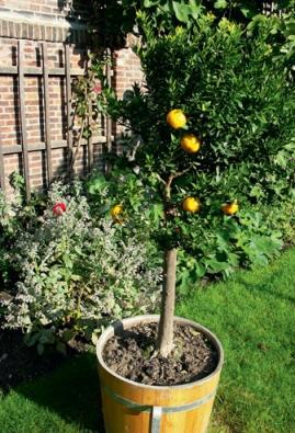 Citrusy jsou stálozelené, bohatě rozvětvené keře, které dorůstají výšky až tří metrů. Pokud citrusy letníte, vynášejte je do venkovního prostředí po ukončení mrazů (konec dubna, počátek května). Pozor na škůdce, pokud rostlinu napadnou červci, snažte se je co nejčastěji mechanicky odstraňovat vatovým tamponem namočeným v lihu.