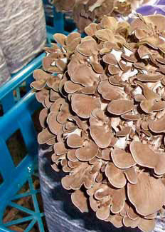 Pěstování maitake (v japonštině tančící houba) s protirakovinnými účinky na kostce substrátu.