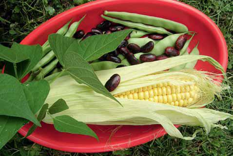 FAZOL OBECNÝ (Phaseolus vulgaris) se v Jižní Americe od pradávna vysévá do okrajů kukuřičných polí. Kukuřice je přirozenou oporou pro levotočivé výhony. Indiáni ze semen dříve mleli, tloukli mouku. Suché oplodí fazolu obecného tyčkového (suché lusky po vyloupání zralých semen) je léčivé, čaj snižuje hladinu krevního cukru, mírně snižuje krevní tlak a pomáhá při onemocnění ledvin a močového měchýře.