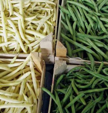 FAZOL KEŘÍČKOVÝ se pěstuje především na mladé lusky. Odrůdy s modrými lusky po uvaření zezelenají. Čím více otrháváte lusky, tím více rostlina plodí. Lusky keříčkových fazolí jsou mimořádně vhodně ke zmrazení.