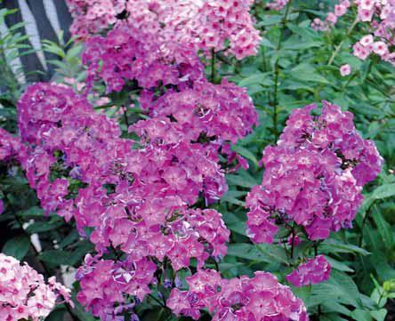 Spektrum barev dotvářejí výrazně červené plamenky či floxy (Flox paniculata). V původním návrhu se sice neobjevují, ale majitelé jim v zadní části zahrady rovněž dávají prostor.