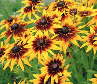 Přestože se s ní v původním projektu nepočítá, najdeme ji v rozmanitém lučním trávníku: třapatka neboli rudbekie (Rudbeckia). Kvete od července až do října.